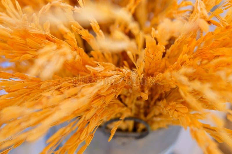 Zamyka do Złotego Tajlandzkiego Jaśminowego ryżu kolca zdjęcia stock