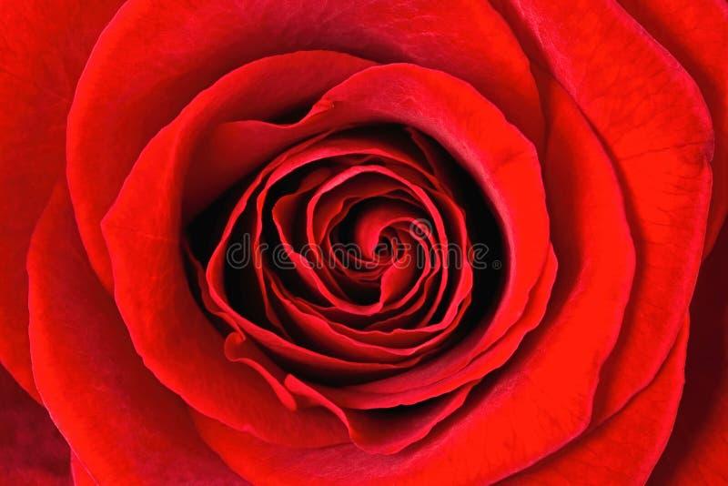 zamyka różanego szkarłat różany fotografia stock