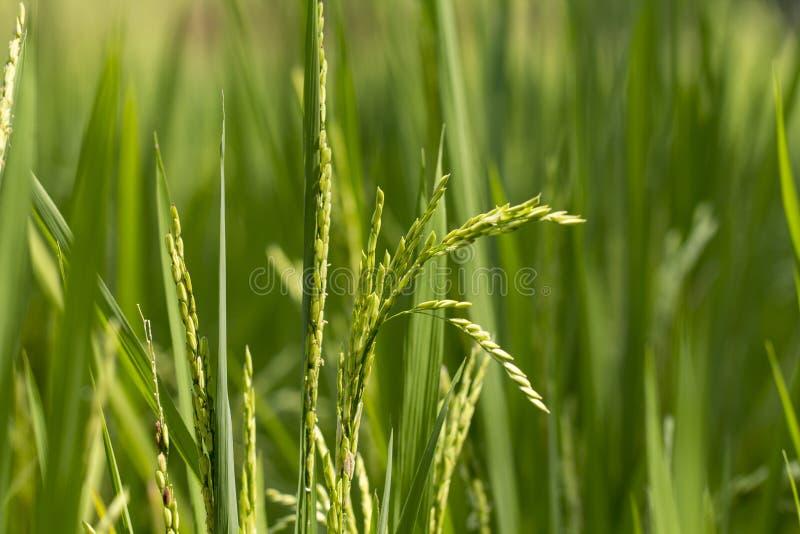 Zamyka roślina ryżowa irlandczyk zielona roślina obrazy royalty free