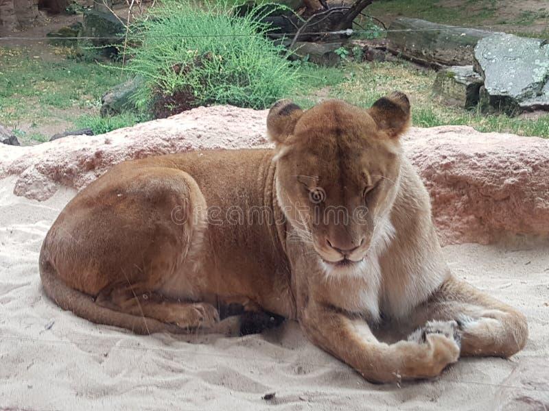 Zamyka strzał tygrys przy zoo fotografia royalty free