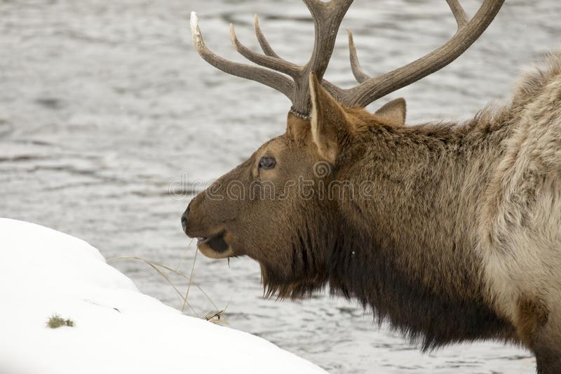 Zamyka up łoś na rzece w Yellowstone parku narodowym zdjęcia stock