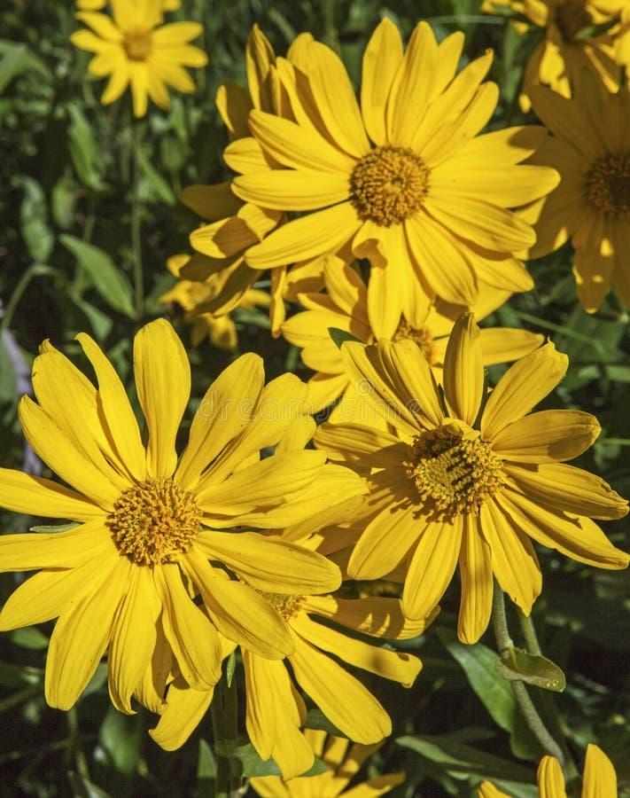 Zamyka up żółty arnikowy słonecznikowy kwiat fotografia royalty free