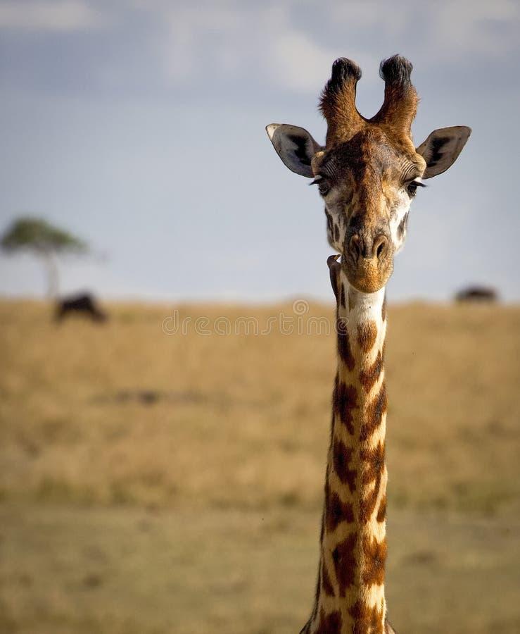 Zamyka up żyrafa patrzeje widza obrazy royalty free