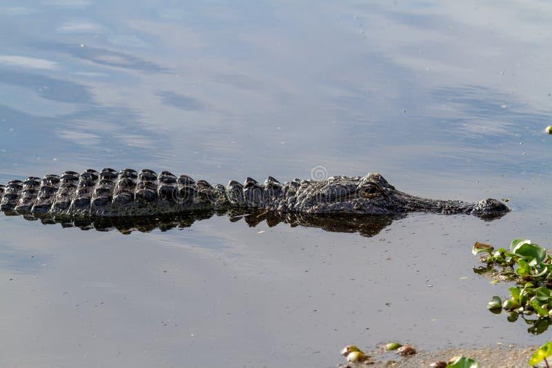 Zamyka up aligator Czaije się w bagnie Wiąz jezioro przy Brazos chyłem, Przeważnie Zanurzający, zdjęcia stock