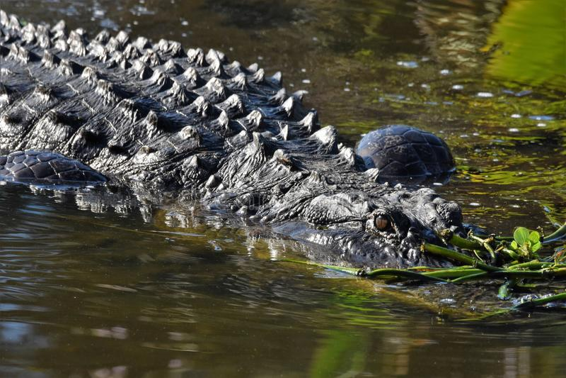 Zamyka up aligator w bagnach fotografia stock