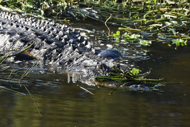 Zamyka up aligator w bagnach zdjęcie stock