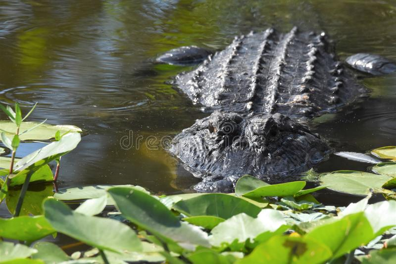 Zamyka up aligator w bagnach zdjęcia royalty free