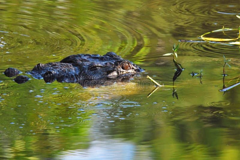 Zamyka up aligator w bagnach zdjęcie royalty free