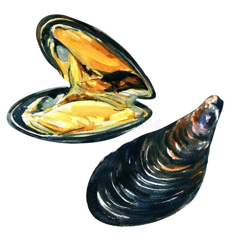 Zamyka up apetyczni świezi denni mussels, akwareli ilustracja royalty ilustracja