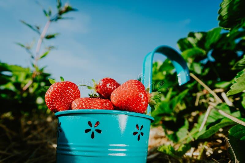 Zamyka up błękitny wiadro świeże wybór truskawki pełno Truskawki pole na słonecznym dniu z jasnym niebieskim niebem w tle zdjęcia stock