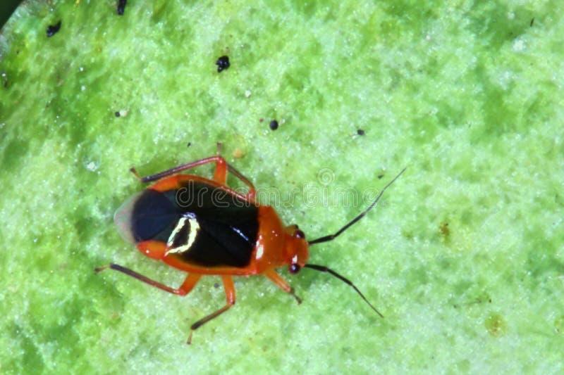 Zamyka up bardzo mały insekt zdjęcie royalty free