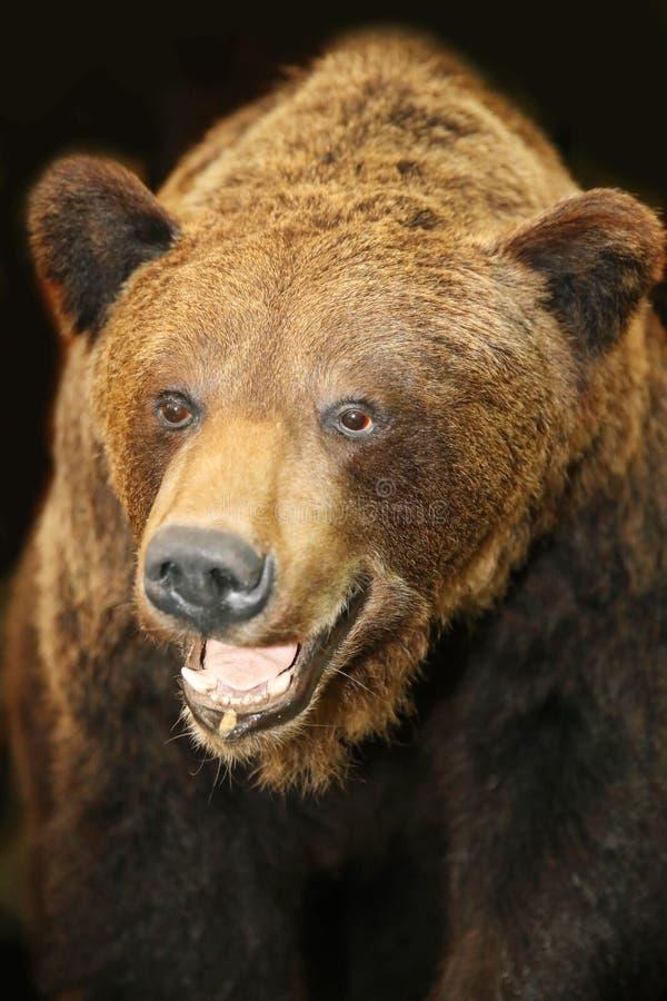 Zamyka up brown niedźwiedzia głowa zdjęcia stock