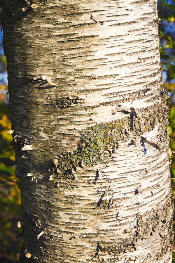 Zamyka up brzozy barkentyna; Brzozy drzewo zdjęcie stock