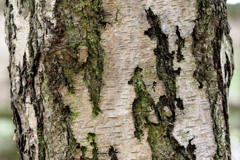 Zamyka up brzozy drzewo obraz stock