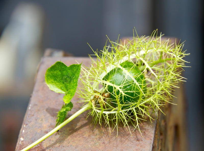 Zamyka up Cuchnący passionflower obraz stock