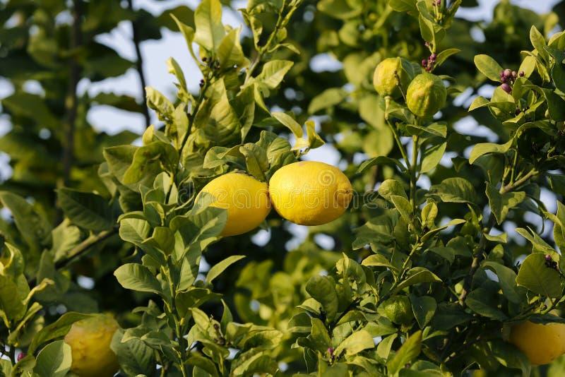 Zamyka up cytryny wiesza od drzewa w cytryna gaju obrazy royalty free