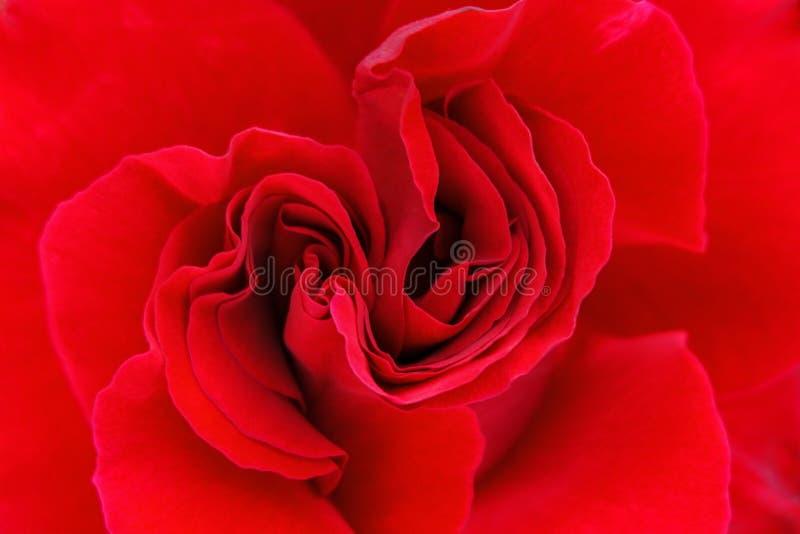 Zamyka up czerwieni róży kwiat zdjęcie stock