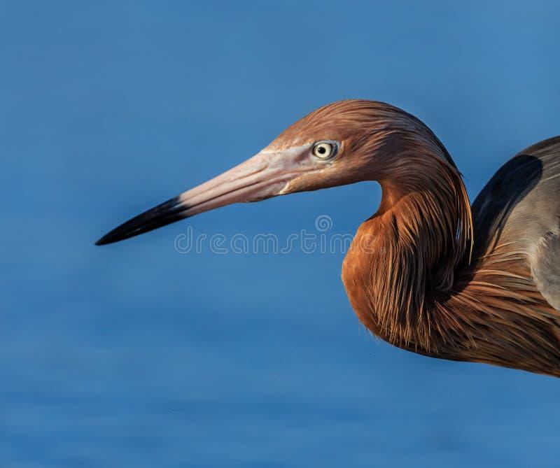 Zamyka up Czerwonawy Egret belfer, głowa i obrazy stock