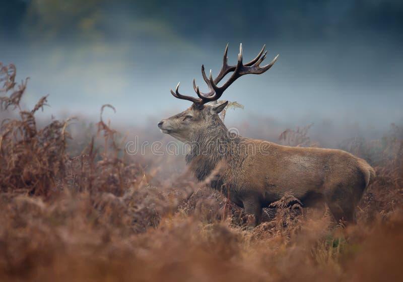 Zamyka up czerwonego rogacza jeleń na mgłowym jesień ranku obrazy stock