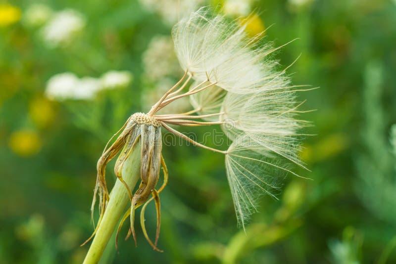 Zamyka up dandelion kwiat fotografia stock