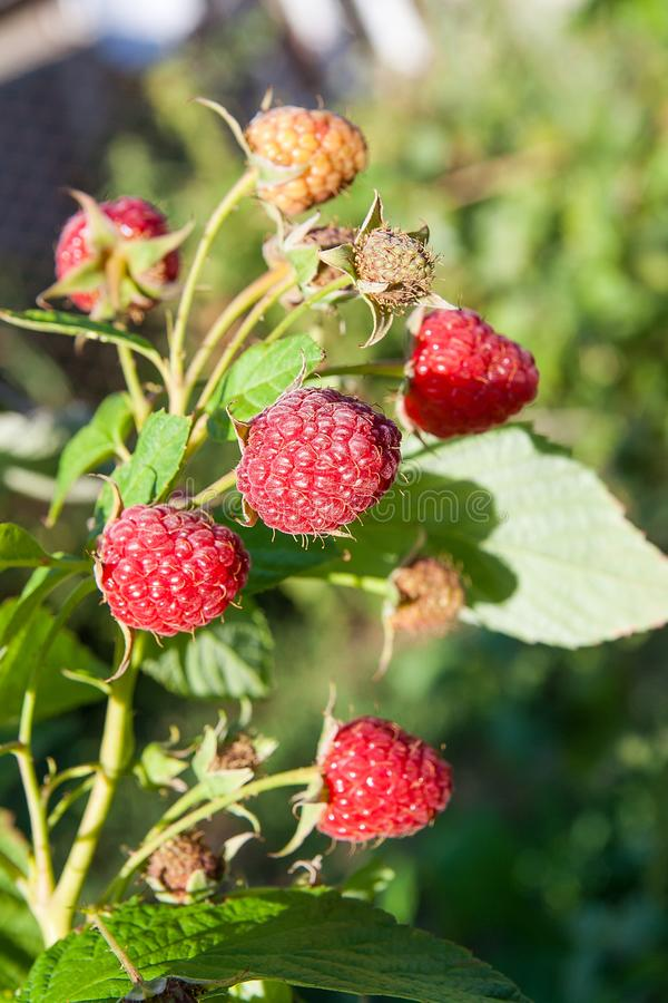 Zamyka up dojrzała i niedojrzała malinka w owocowym ogródzie Narastający naturalny krzak malinka Gałąź malinka w świetle słoneczn fotografia royalty free