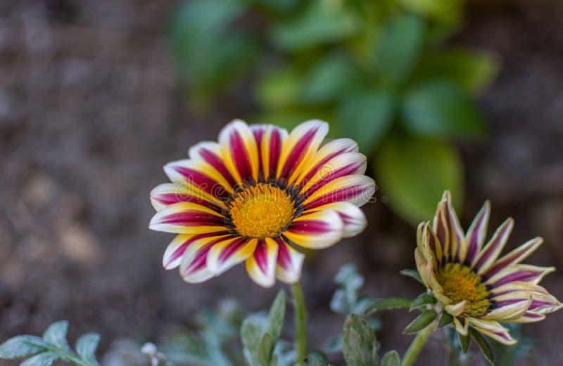 Zamyka up gazania kwiat obrazy royalty free