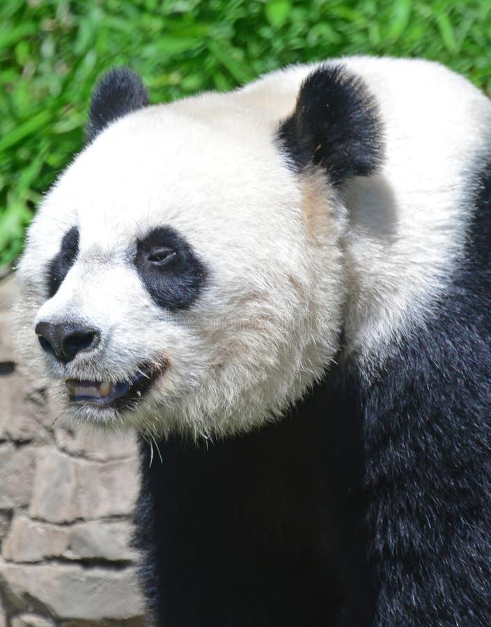 Zamyka up Gigantyczna panda obrazy royalty free