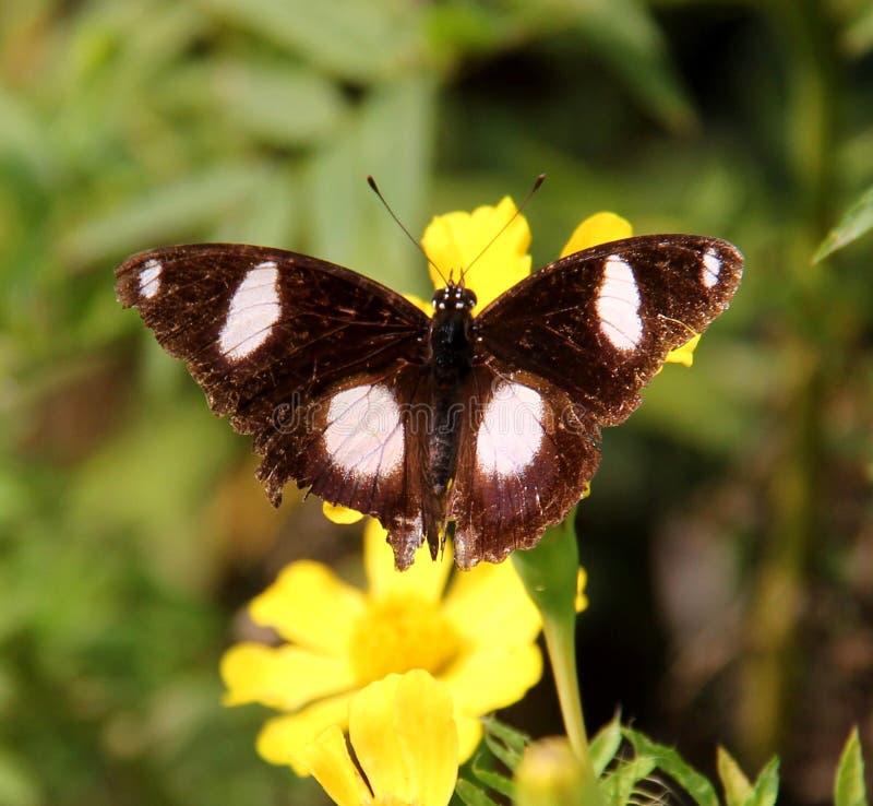 Zamyka up Indiański motyl: Wielki Eggfly obraz royalty free