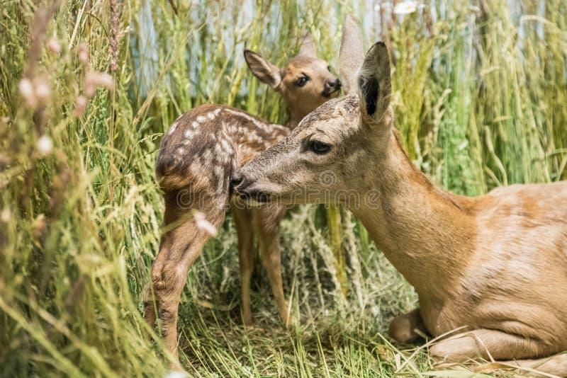 Zamyka up jelenia rodzina zdjęcie stock