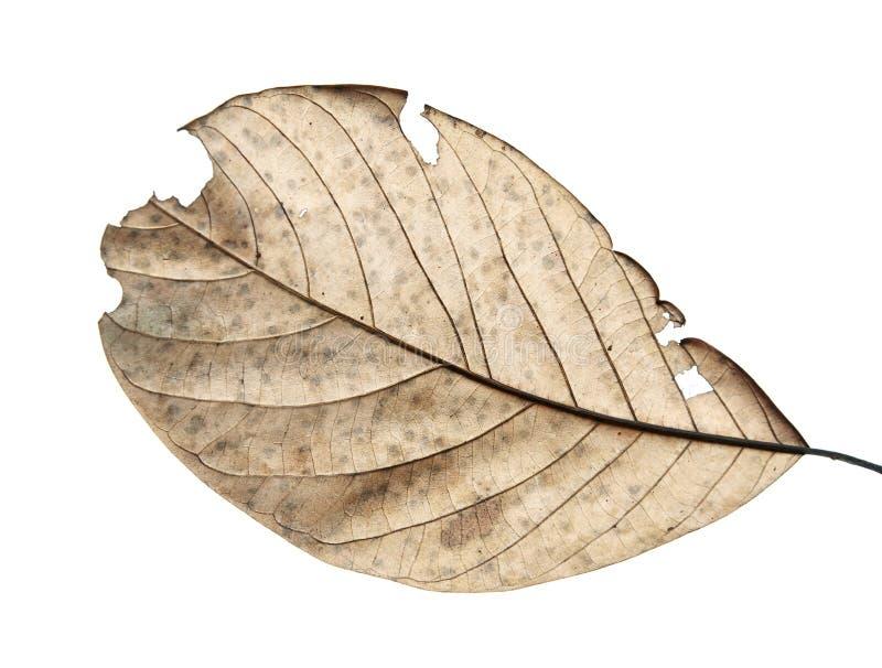 Zamyka up jesień suszący liść, Przypala brown ulistnienie, Makro- widok na tekstura więdnących jesień liściach odizolowywających  zdjęcia royalty free