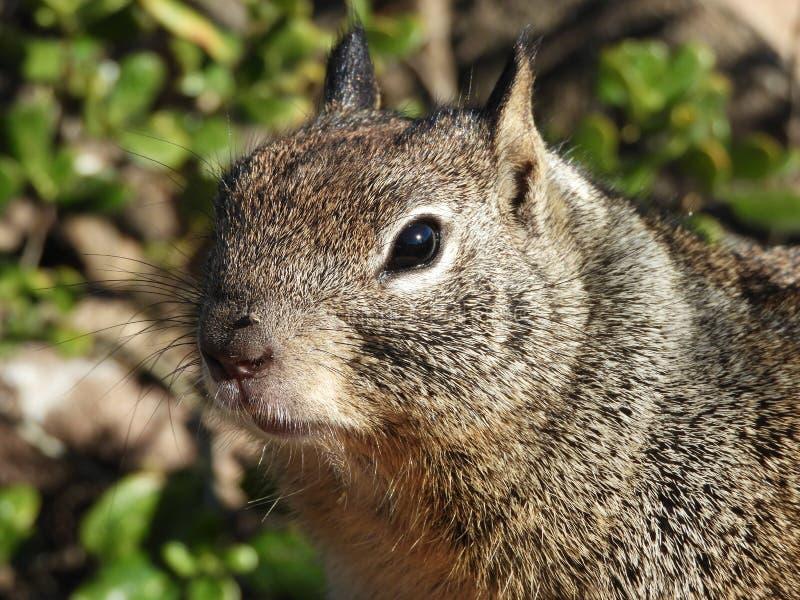 Zamyka Up Kalifornia Zmielona wiewiórka zdjęcie royalty free