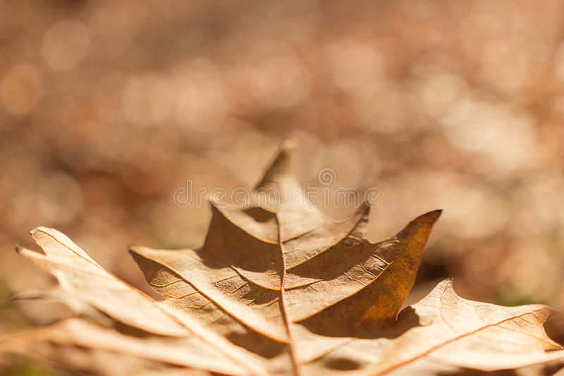 Zamyka up kolorowy jesienny liść klonowy obrazy stock