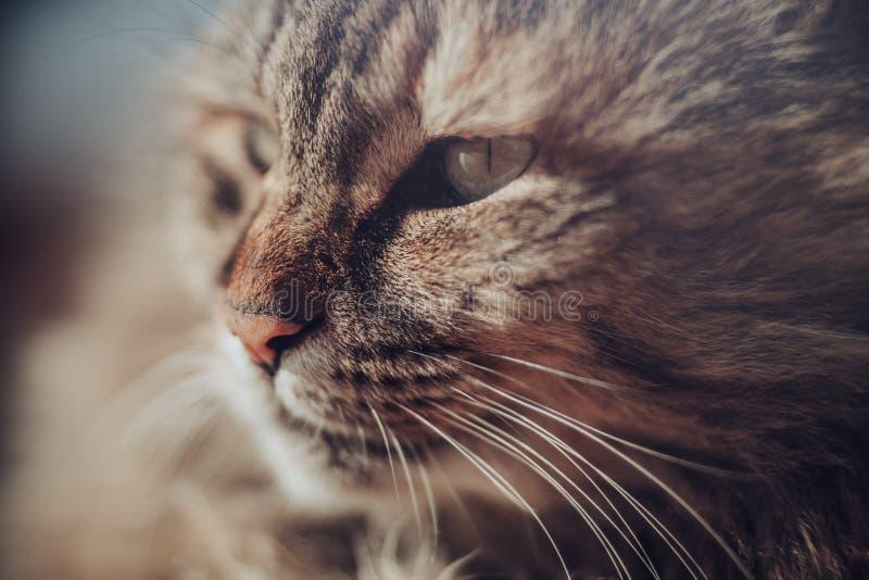 Zamyka up kot z usta, nosem i wąsy, fotografia stock
