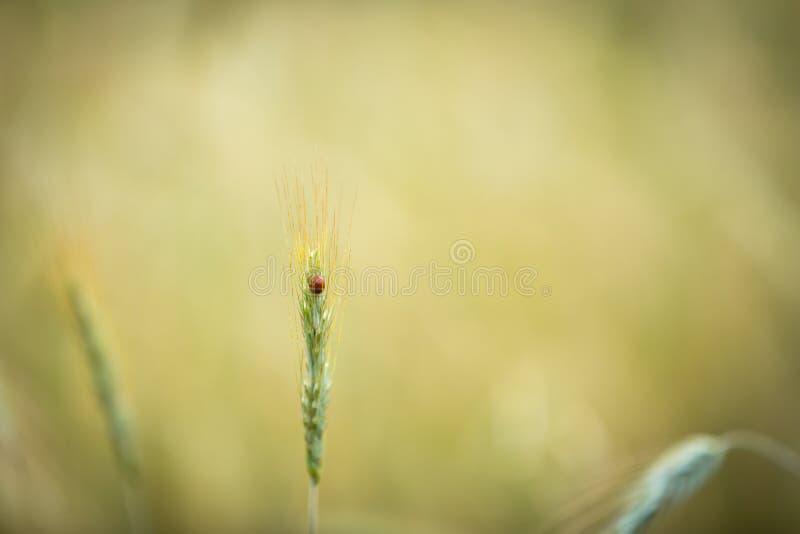 Zamyka up ladybird obsiadanie na roślinie zdjęcie royalty free