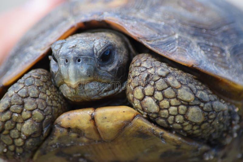 Zamyka up lamparta Tortoise zdjęcia royalty free