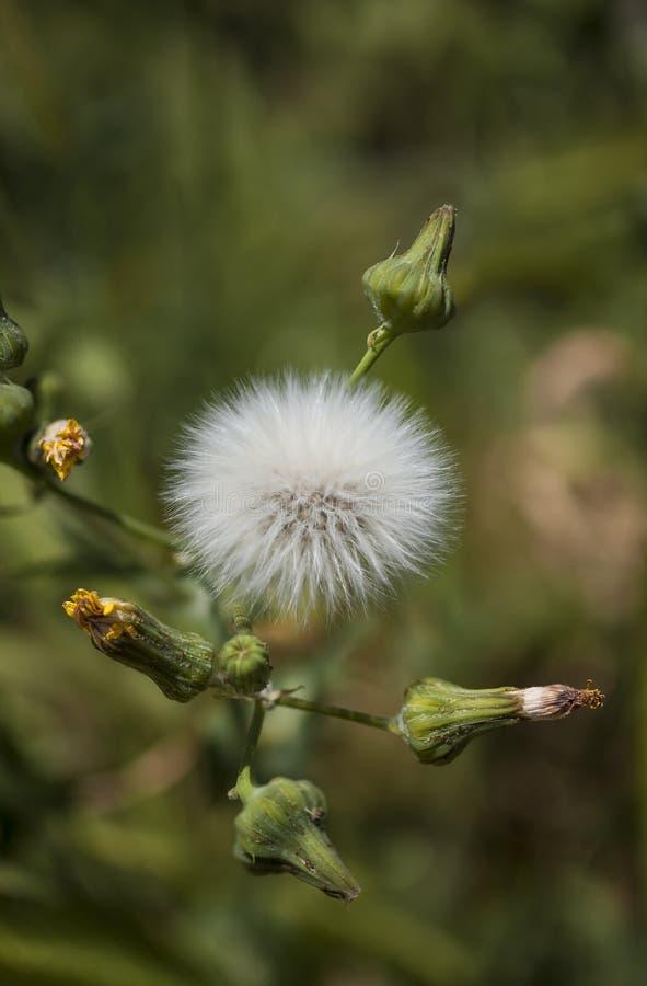Zamyka up locha osetu Dandelion & swój kwiatów pączki podczas wiosny obrazy royalty free