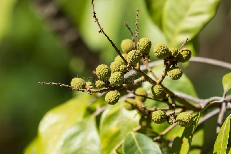 Zamyka up Młoda Mała longan owoc obrazy stock
