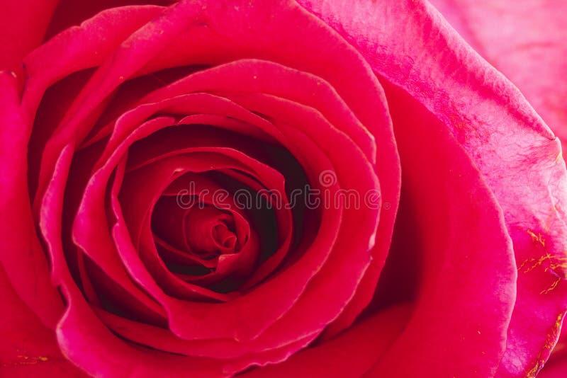 Zamyka up menchii róża wśrodku zdjęcia stock