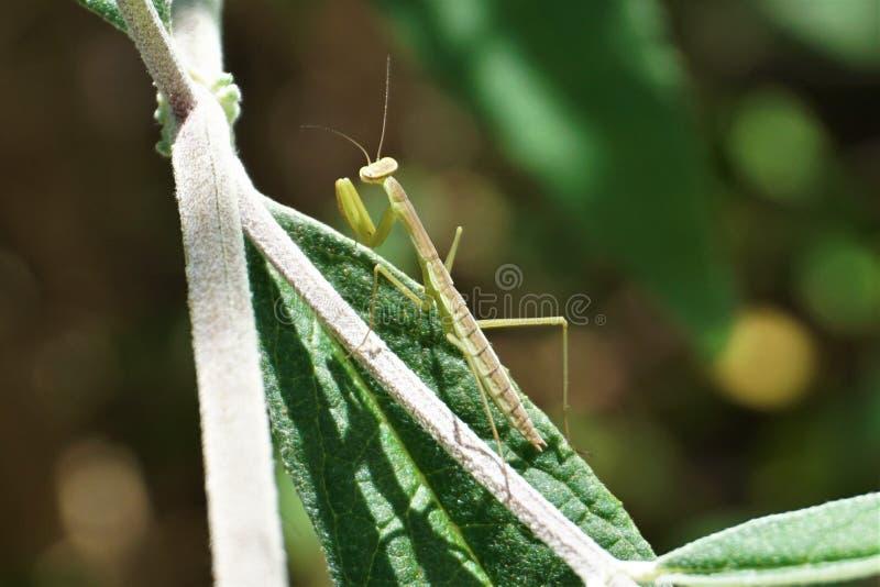 Zamyka up modlenie modliszki insekt obrazy royalty free