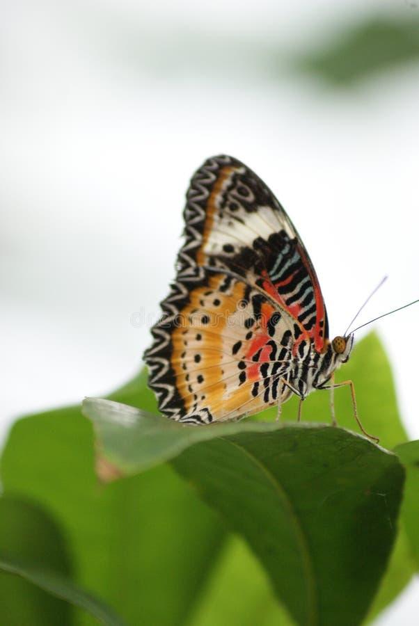 Zamyka up motyl na urlopie zdjęcie royalty free