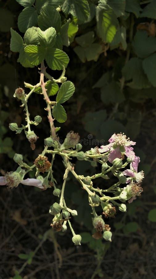 Zamyka Up Na Marszczących pączkach Dzika malinka Na słonecznym dniu W Hermon rzece W Izrael I kwiatach obrazy royalty free