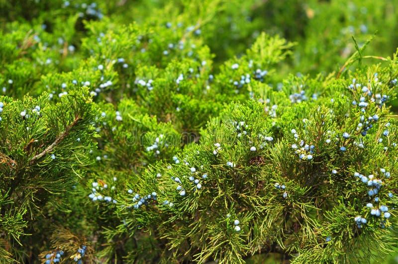 Zamyka up na Zielonym jałowu z jałowcową jagodą Juniperus excelsa lub grka jałowiec Błękitne jagody używają jako pikantność i w m zdjęcie stock