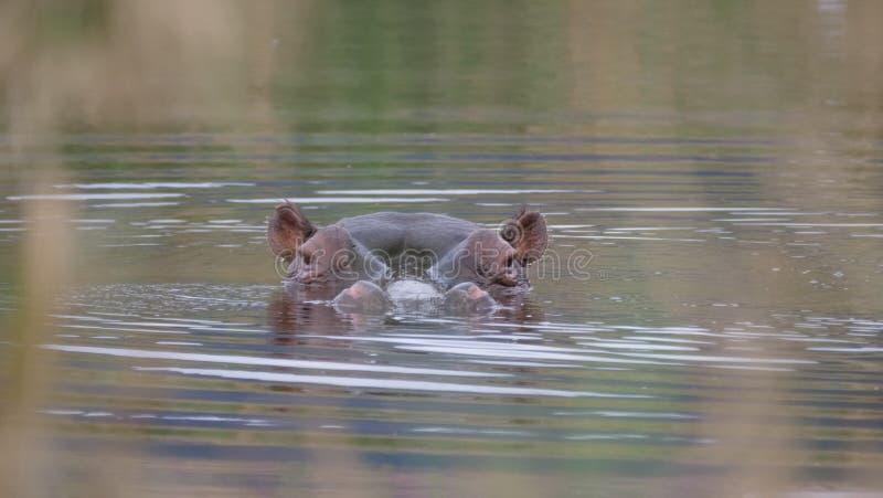 Zamyka up od hipopotama obrazy royalty free