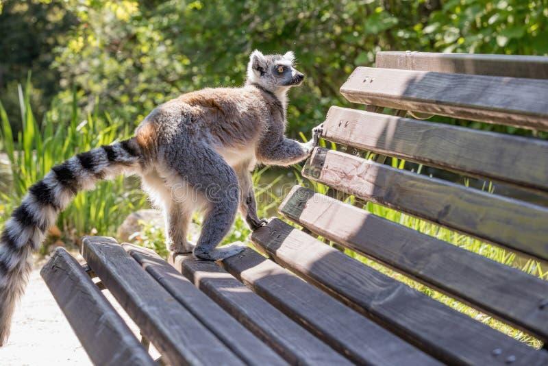 Zamyka up ogoniasty lemur, portret lemur zdjęcie stock