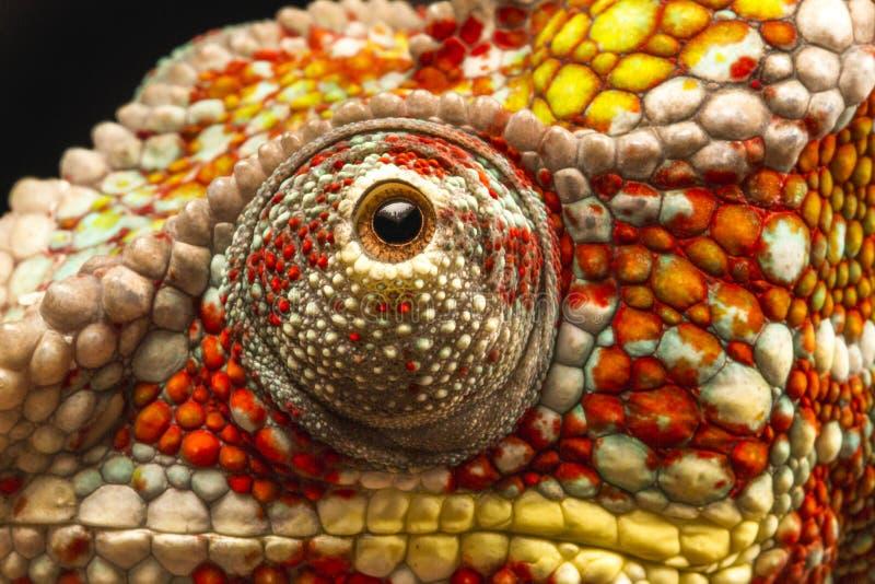 Zamyka up oko pantera kameleon (Furcifer pardalis) zdjęcia stock