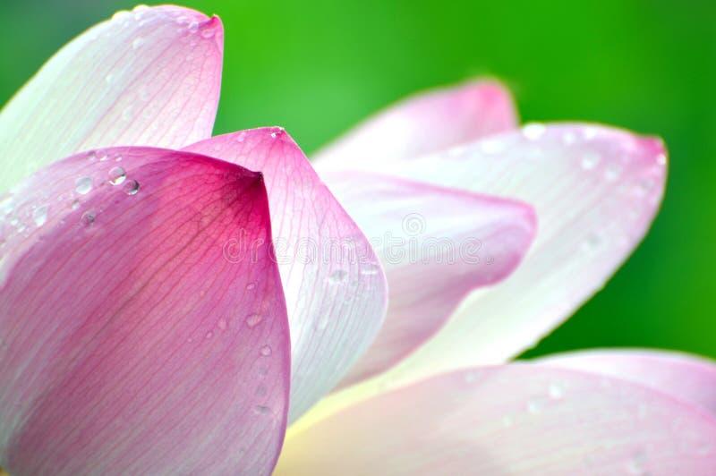 Zamyka up okwitnięcie lotosowy kwiat w stawie obraz royalty free
