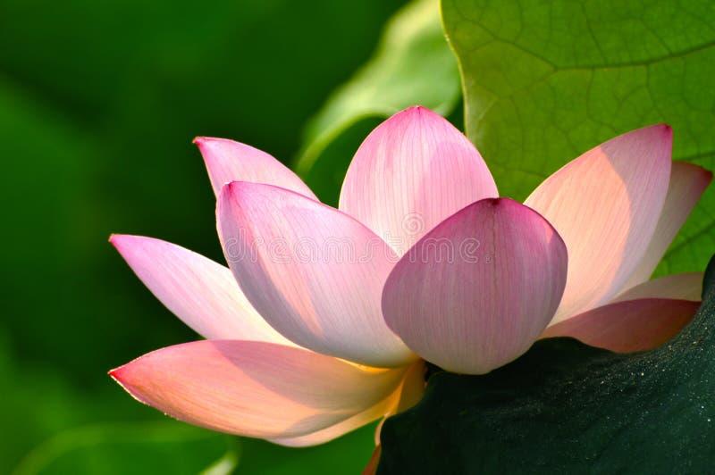 Zamyka up okwitnięcie lotosowy kwiat w stawie zdjęcie stock