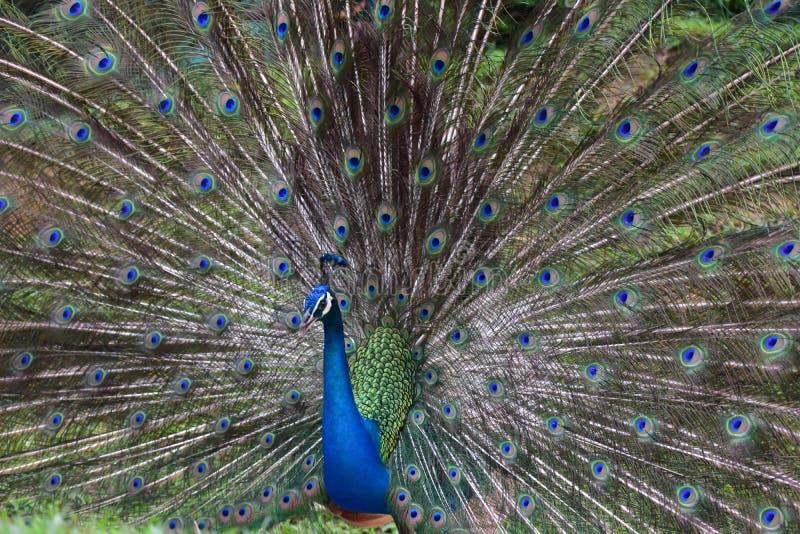 Zamyka up paw pokazuje swój pięknych piórka zdjęcia royalty free