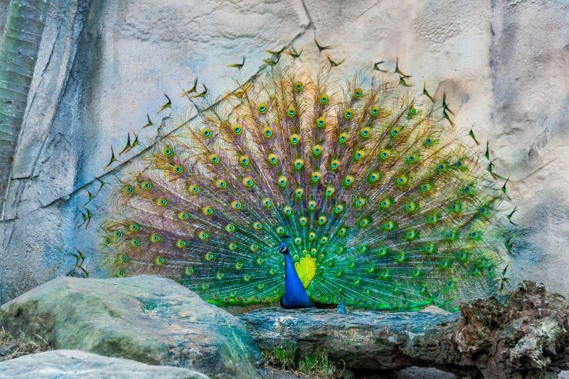 Zamyka up paw pokazuje swój pięknych piórka Męski paw wystawia jego ogonów piórka Rozciągnięci piórka paw są obrazy royalty free