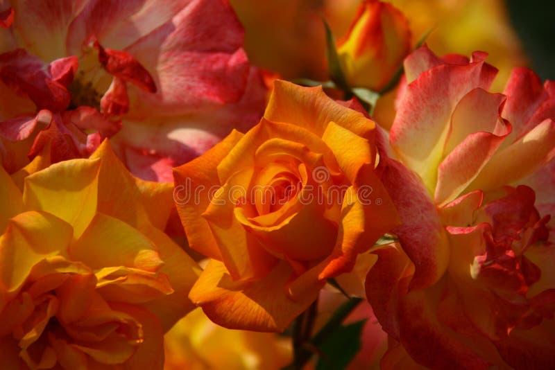 Zamyka up Piękne róże fotografia royalty free